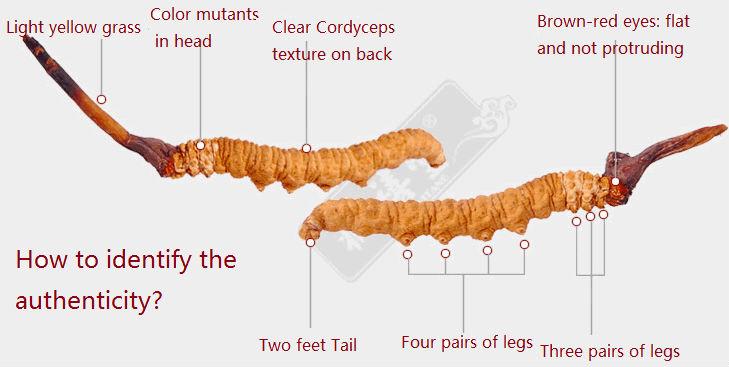 Cordyceps - Jak rozpoznać autentyczny Cordyceps Sinensis?